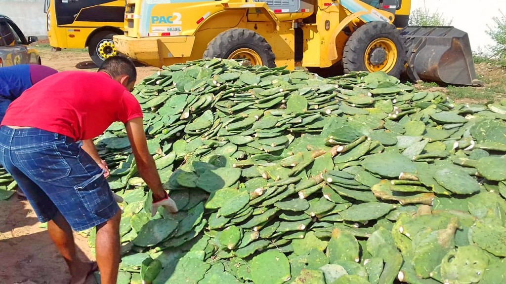 Prefeitura de Monteiro distribui 100 mil raquetes de palma com agricultores